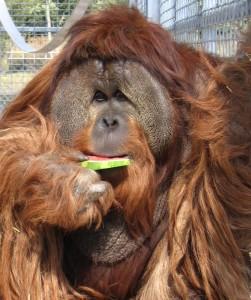 Azy is an orang utan
